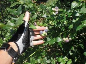 Fresh Vermont Blueberries